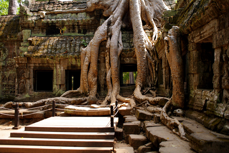 Famous spung tree now has photo taking platform at Ta Prohm in Angkor, Cambodia