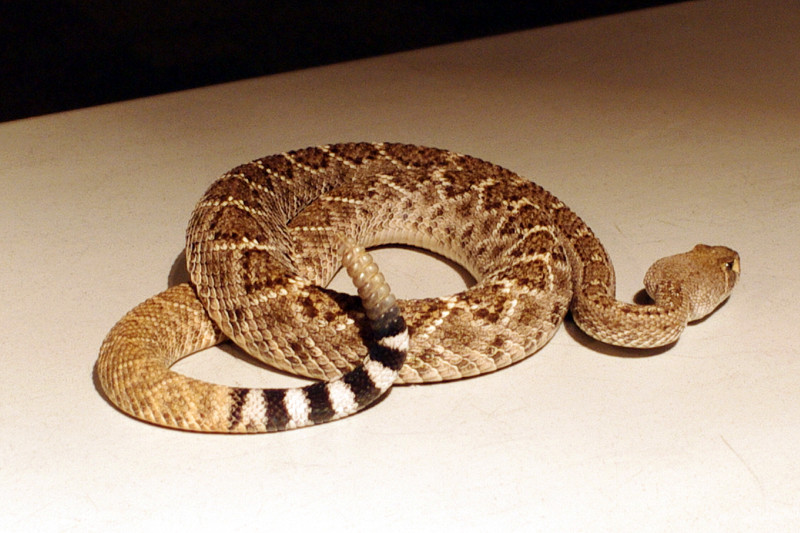 Western Diamondback Rattlesnake at the Arizona-Sonora Desert Museum
