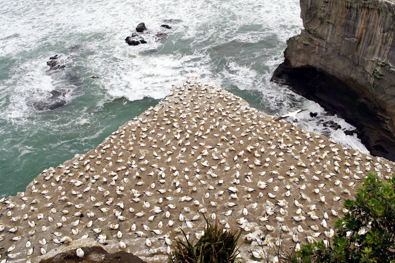 Gannet colony nesting at Muriwai