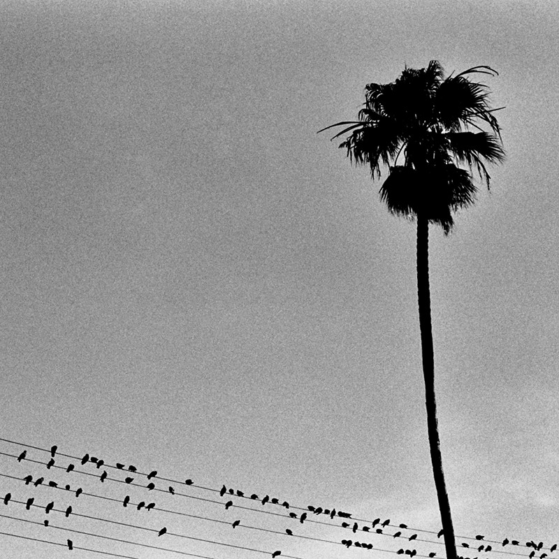 Pigeons dot the power lines below a solitary palm tree