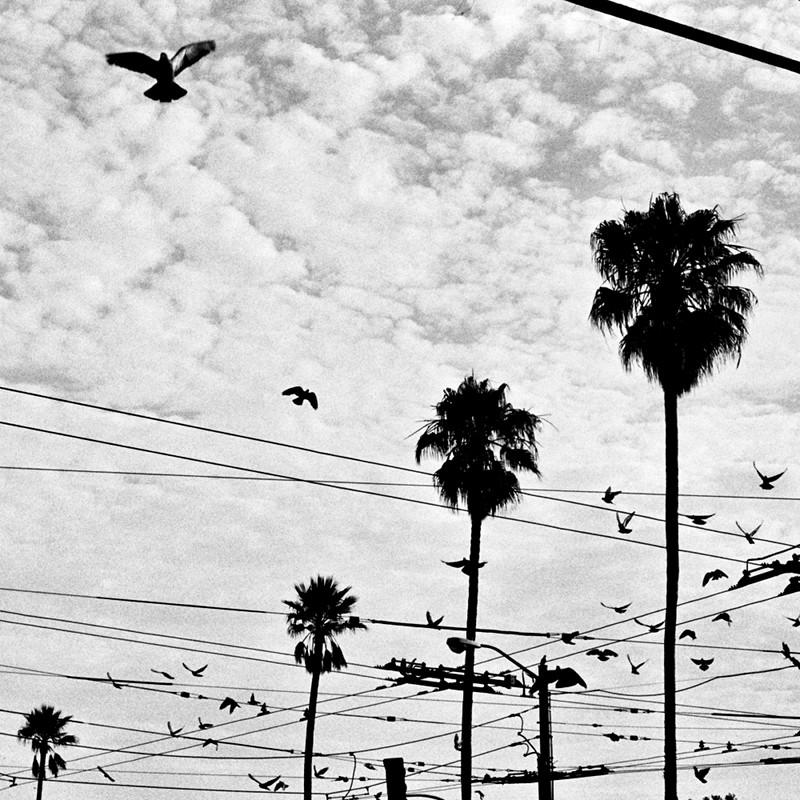 Pigeons in flight over trolley wires and palm trees