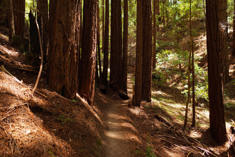 View of the trail from the Canyon Loop at Butano State Park, near Pescadero, CA