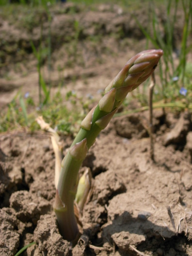 Asparagus growing out of the ground