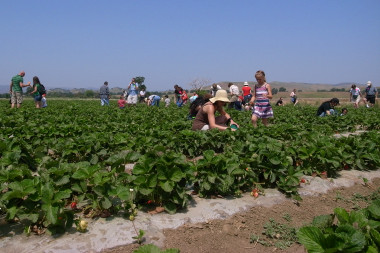 People picking strawberries
