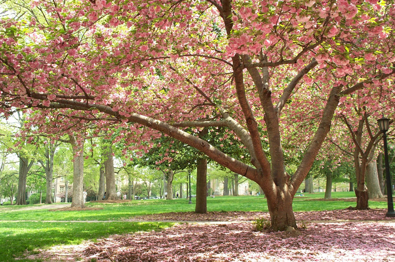 Pink flowering tree during Spring on the campus of UNC in Chapel Hill, North Carolina