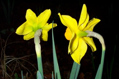 back of two yellow daffodils