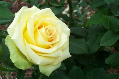 light yellow rose