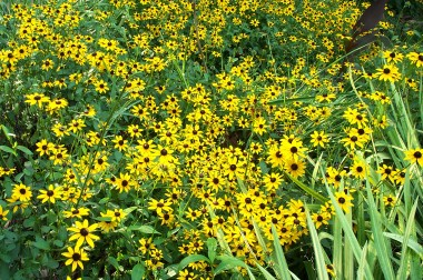 lots of yellow daisies