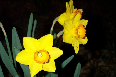 three yellow orange daffodils