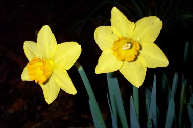 two yellow orange daffodils