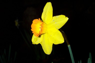 yellow orange daffodil