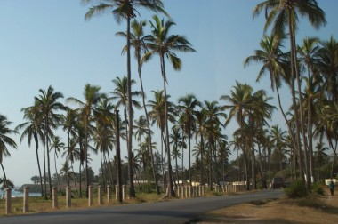 infestation of palm trees