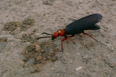 Black and red bug, drinking water