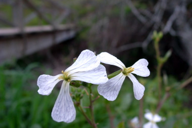 white flowers with veined petals