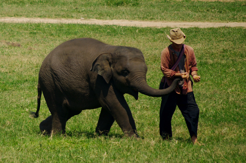 Young elephant trying to get treat from mahout at Elephant Nature Park in Chiang Mai, Thailand