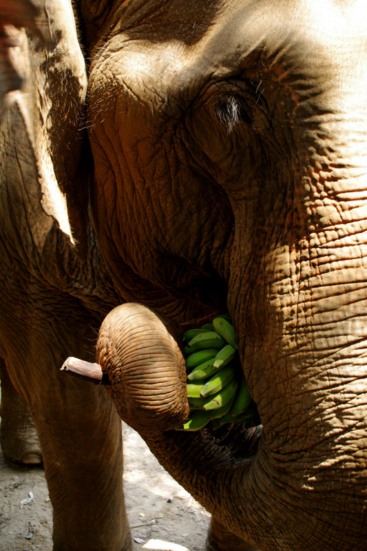 Close up of an elephant eating bananas at Elephant Nature Park in Chiang Mai, Thailand