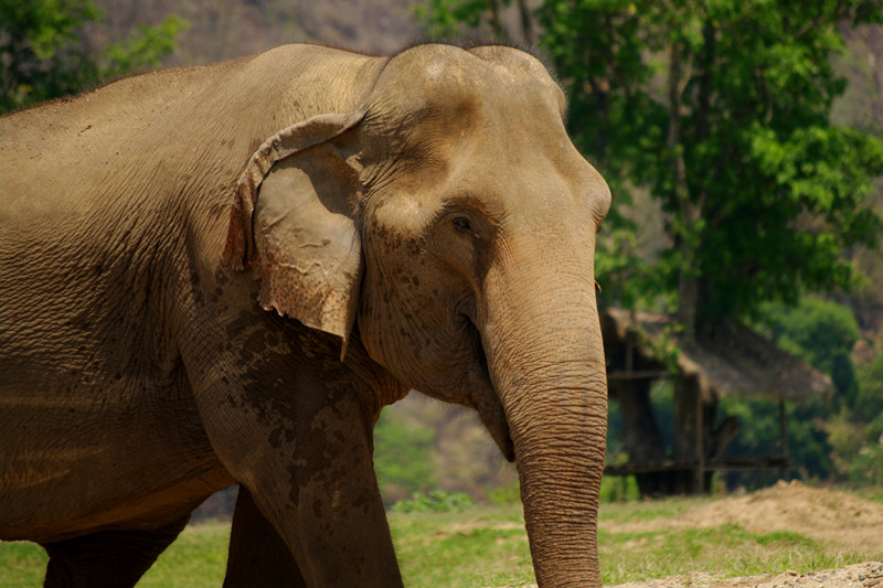 Elephant portrait at Elephant Nature Park in Chiang Mai, Thailand