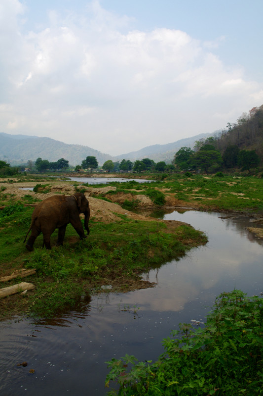 Elephant walking by the river at Elephant Nature Park in Chiang Mai, Thailand