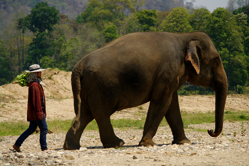Elephant walking with mahout to the river at Elephant Nature Park in Chiang Mai, Thailand