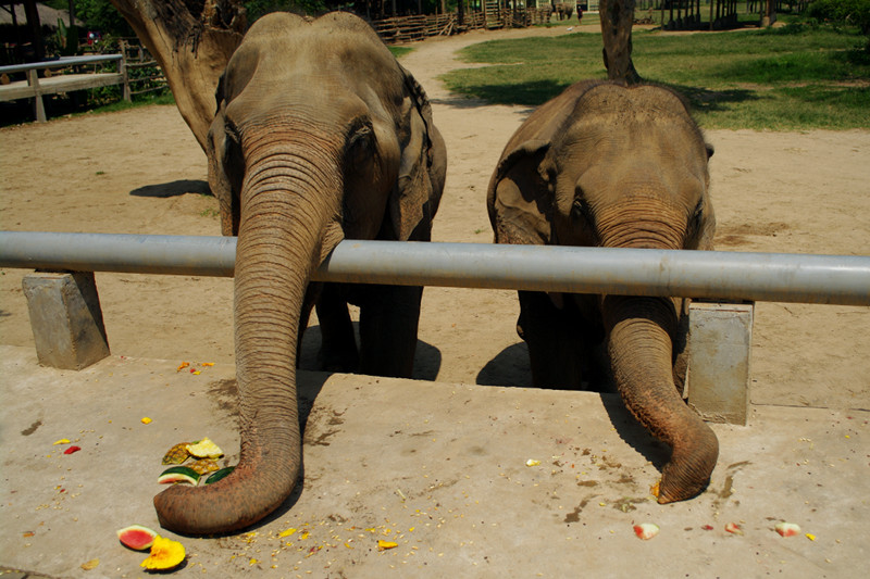Two elephants vacuum up the scraps at Elephant Nature Park in Chiang Mai, Thailand
