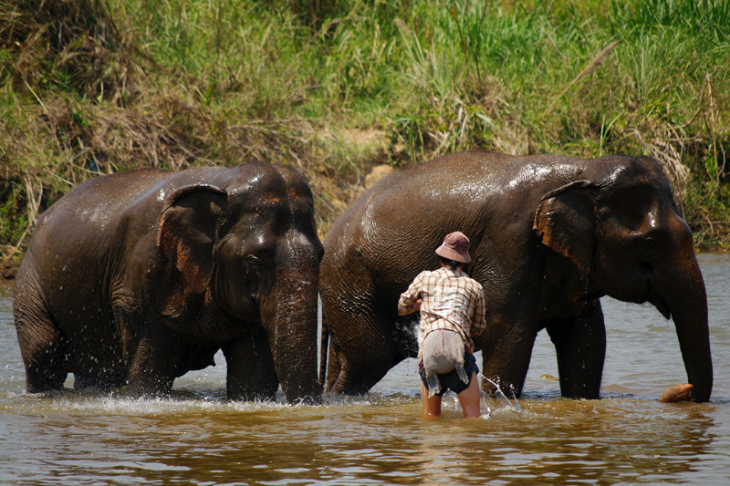Mahout washing down two elephants in the river at Elephant Nature Park in Chiang Mai, Thailand