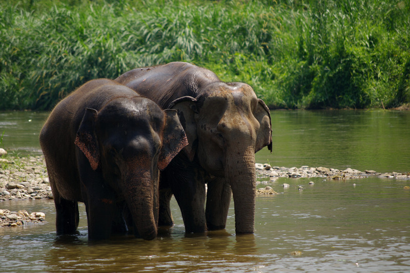 Naturalistic shot of two elephants in the river at Elephant Nature Park in Chiang Mai, Thailand