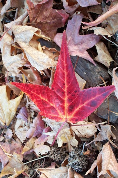 perfect red leaf