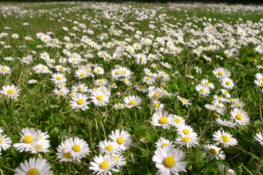 Image result for field of white and yellow flowers