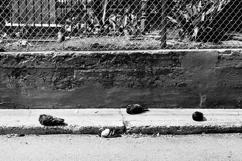 Four pigeons, roosting on the sidewalk in San Francisco