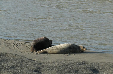 Harbor seals chilling on the banks of the Russian River