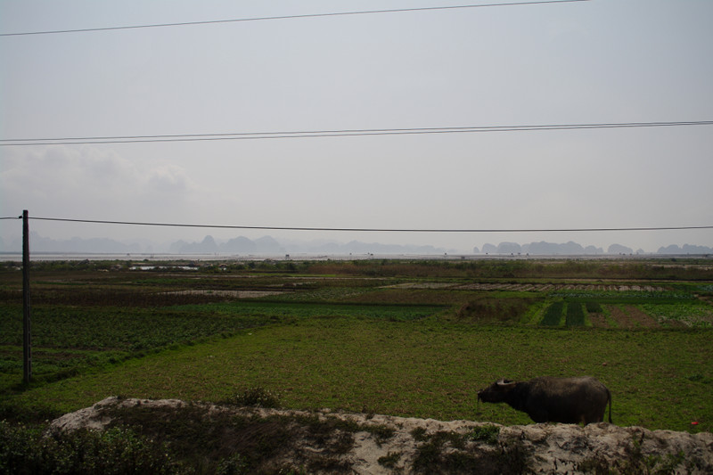 Water buffalo on the way to Hạ Long Bay, Vietnam