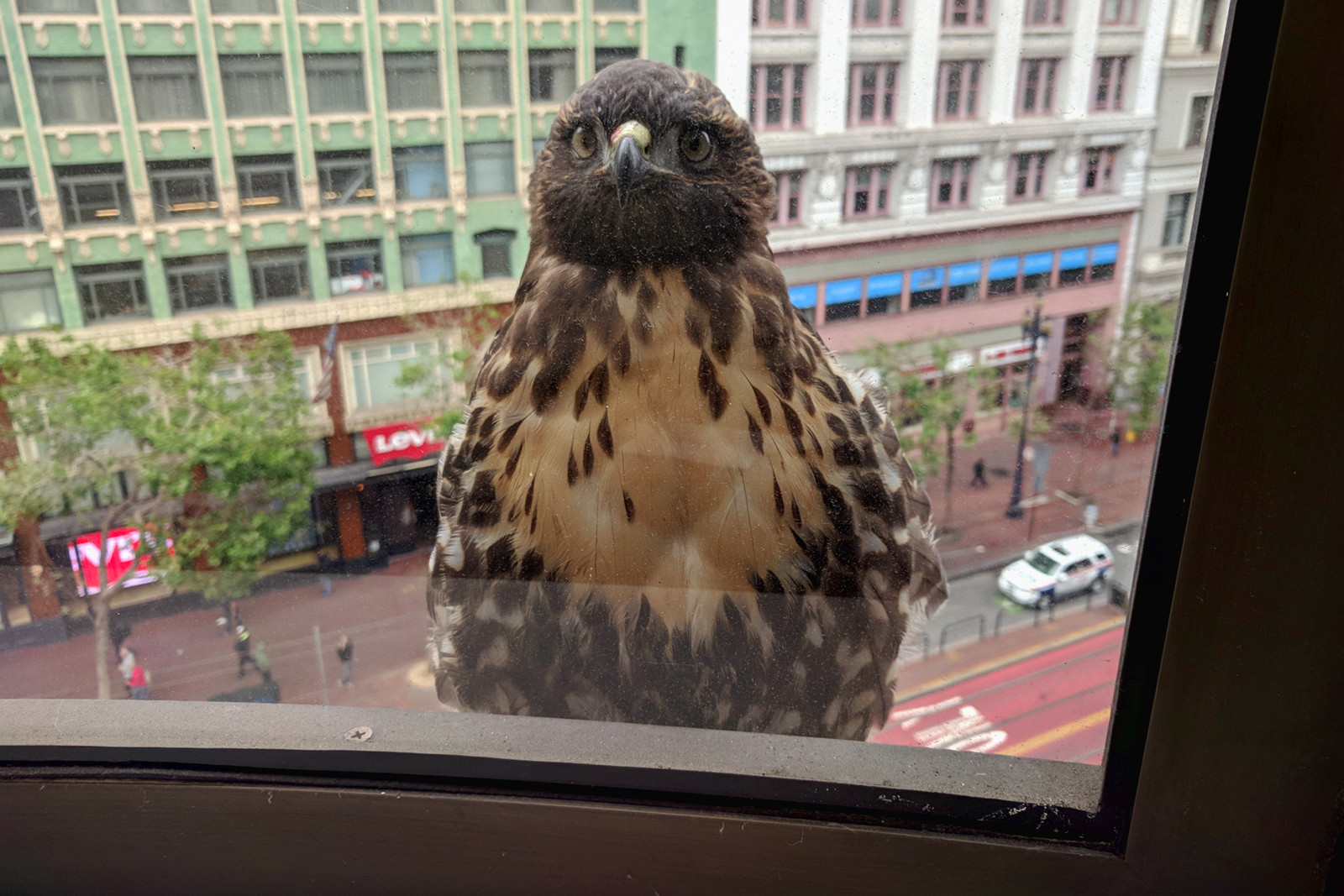 Hawk in San Francisco