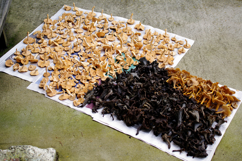 Nine pounds of hedgehog, black trumpet, and yellow chanterelle mushrooms, laid out on paper