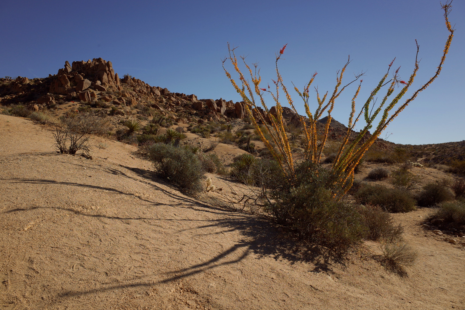 Flowering ocotillo on the trail to the Lost Palms Canyon in Joshua Tree National Park