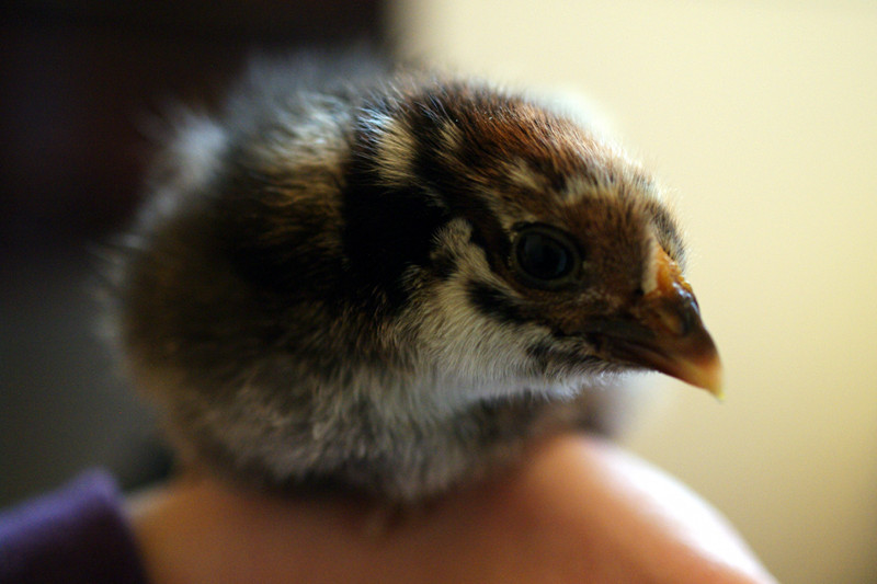 Joy and Kyle's baby chick: Penny