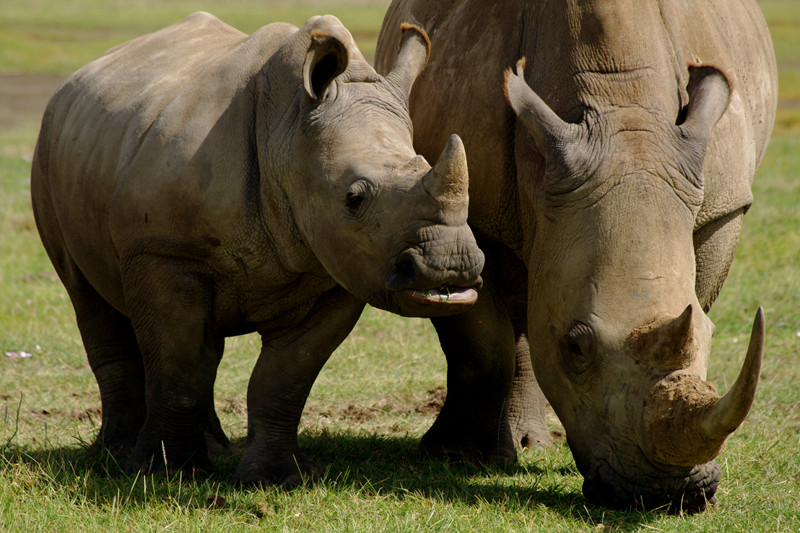 Baby and mother white rhino at Lake Nakuru National Park in Kenya