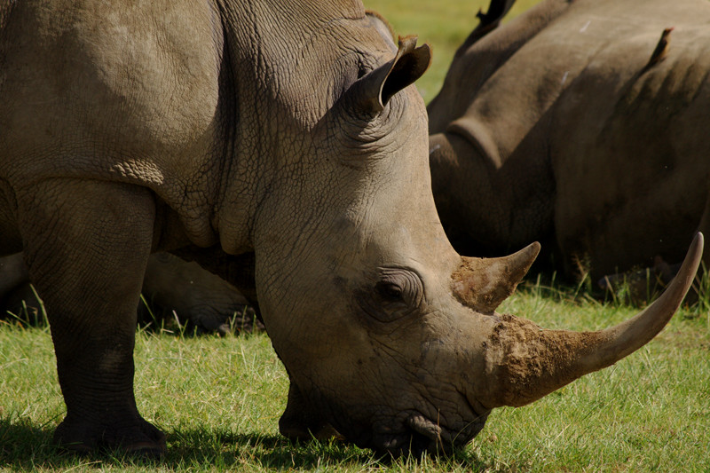 White rhino at Lake Nakuru National Park in Kenya
