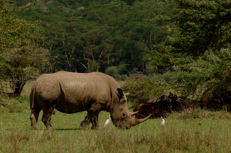White rhino with egrets at Lake Nakuru National Park in Kenya