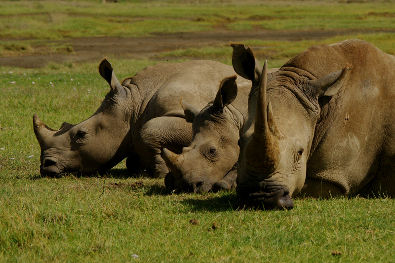 White rhinoceros family dozing at Lake Nakuru National Park in Kenya