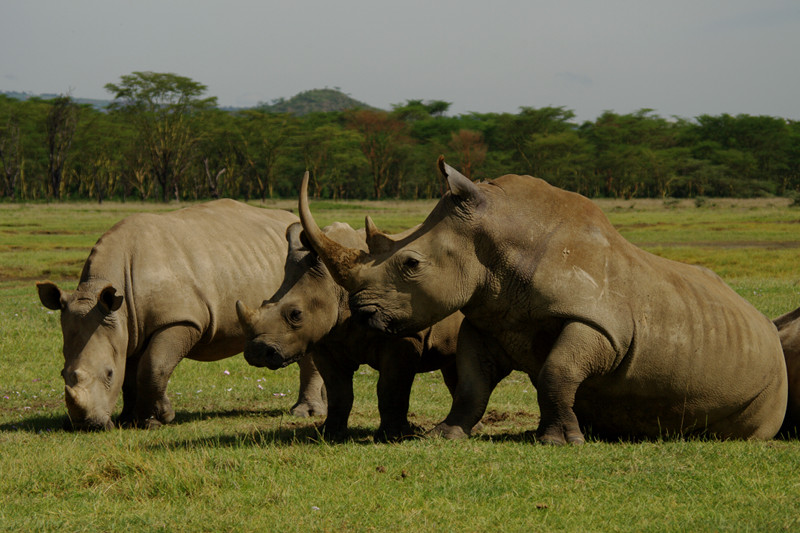 White rhinos at Lake Nakuru National Park in Kenya