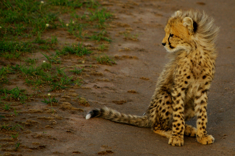 Cheetahs are awesome - Justinsomnia