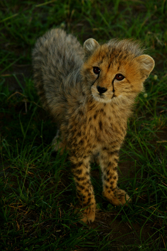 Baby cheetah at Maasai Mara National Reserve in Kenya