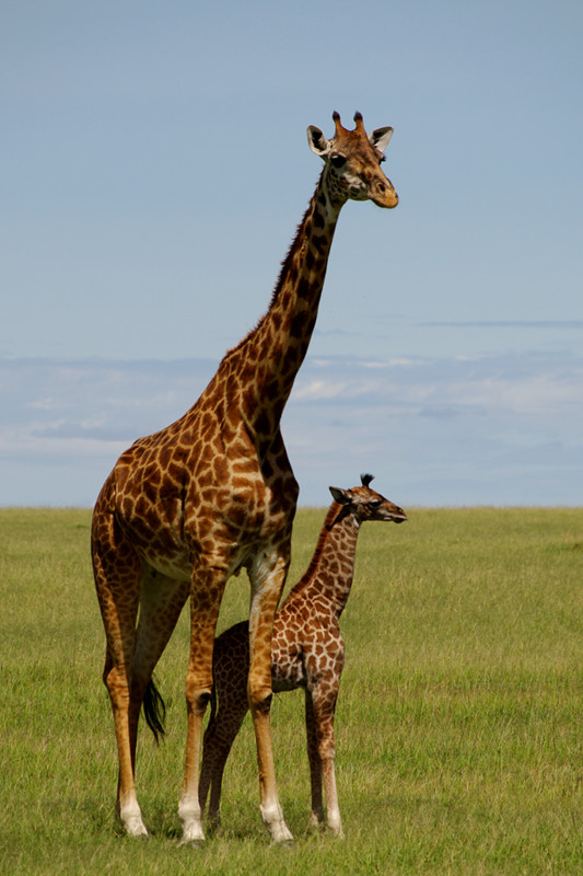 A baby giraffe and mama giraffe at Maasai Mara National Reserve in Kenya