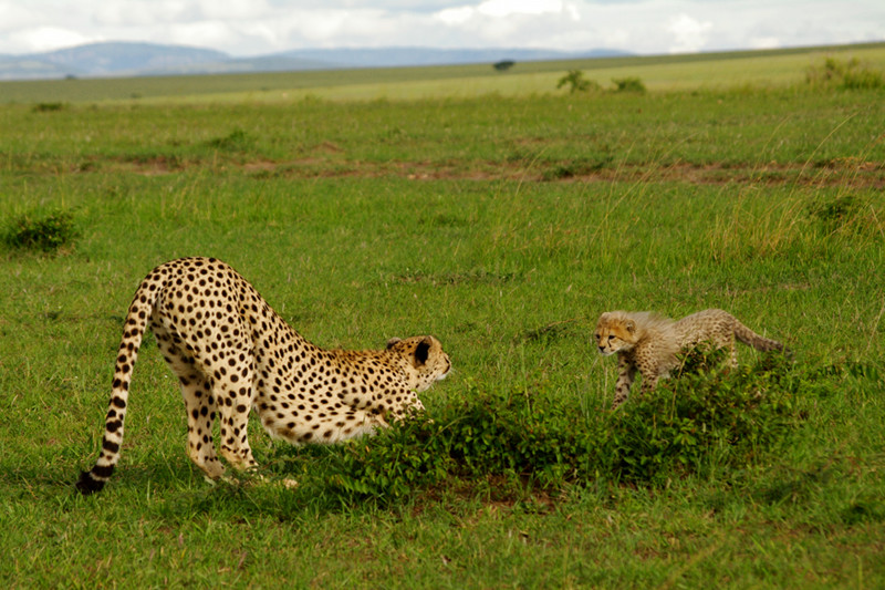 Cheetah and cub stretching at Maasai Mara National Reserve in Kenya