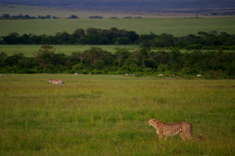 Cheetah in grass at dusk at Maasai Mara National Reserve in Kenya