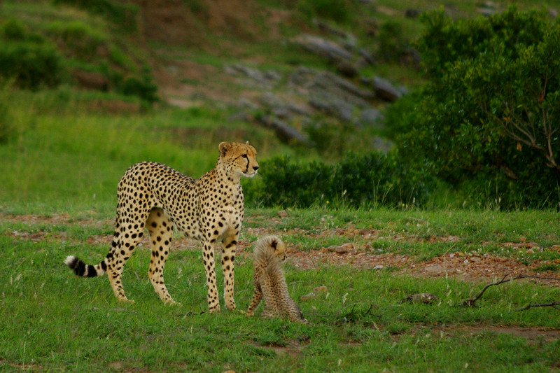 Cheetah with cub at Maasai Mara National Reserve in Kenya
