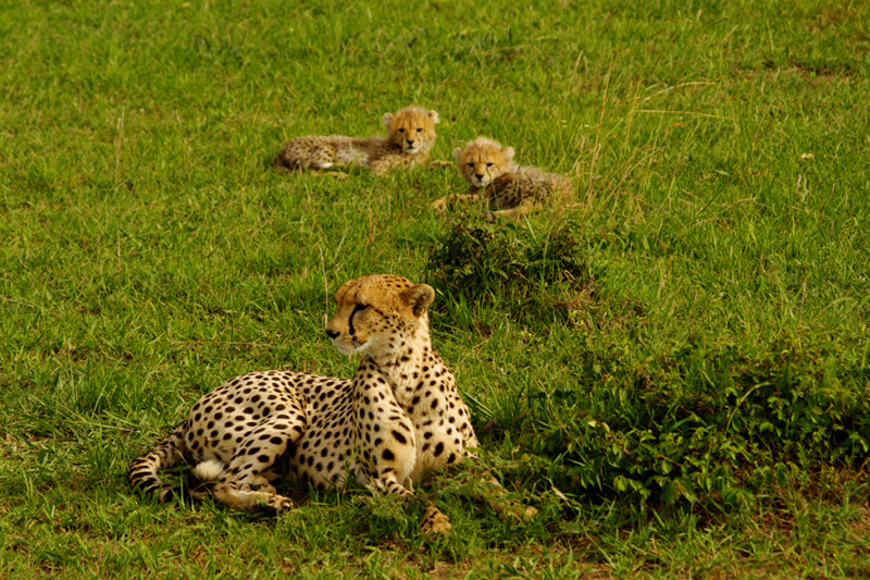 Cheetah with two cubs at Maasai Mara National Reserve in Kenya