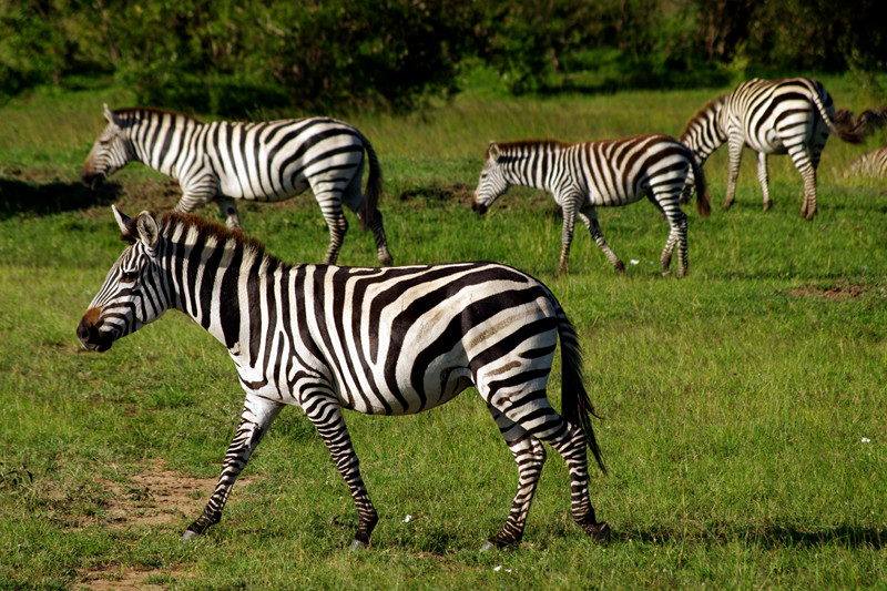 Four zebras walking at Maasai Mara National Reserve in Kenya