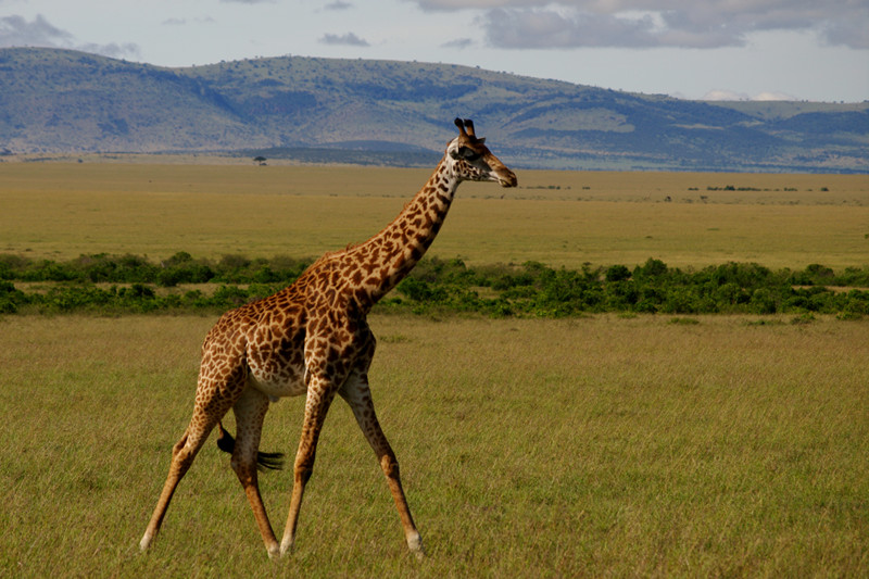 A giraffe at Maasai Mara National Reserve in Kenya