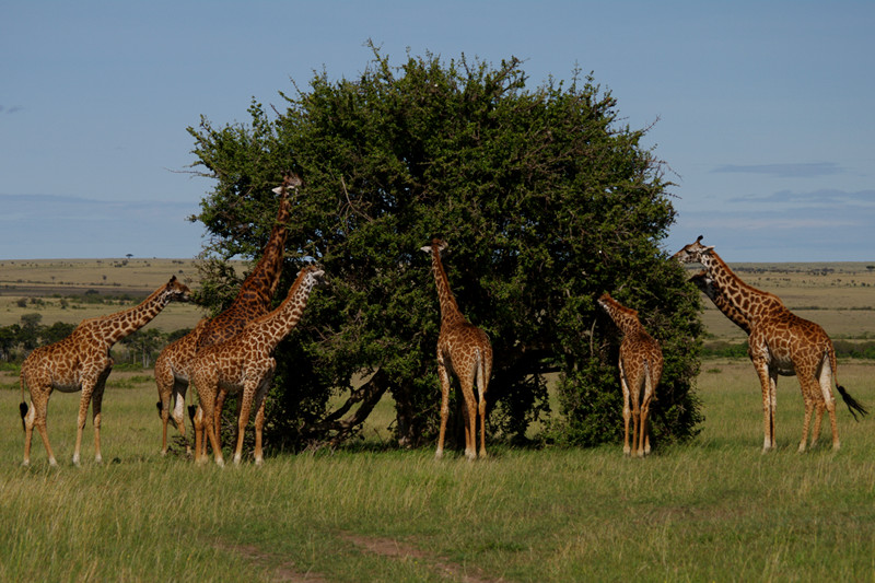Giraffes pruning tree at Maasai Mara National Reserve in Kenya